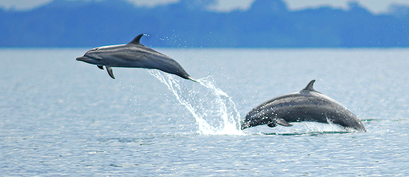 Dolphins in Osa Peninsula, South Pacific, Costa Rica